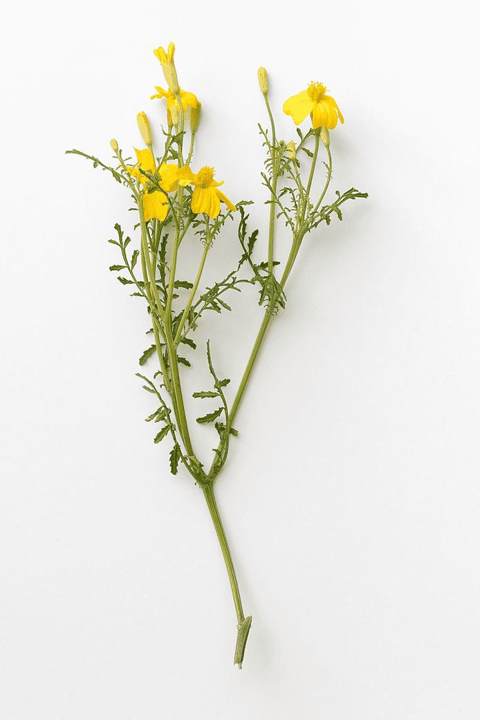 Citrontagetes