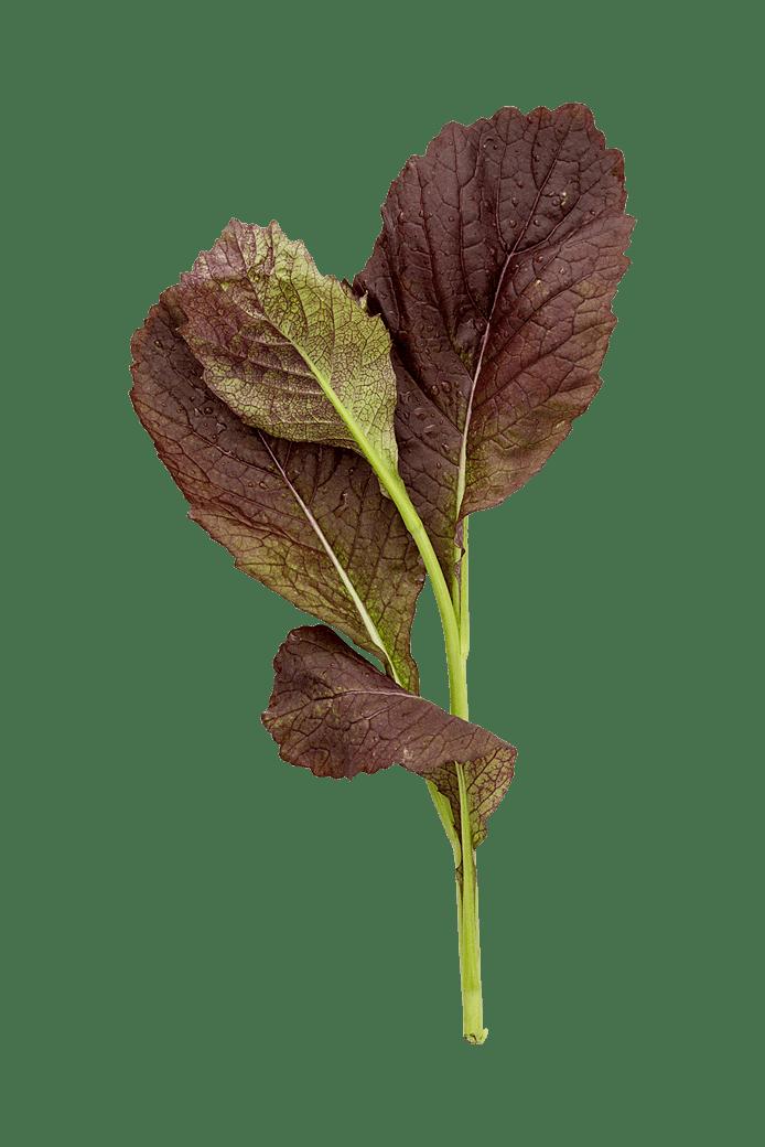 Garnet giant (kålblade)