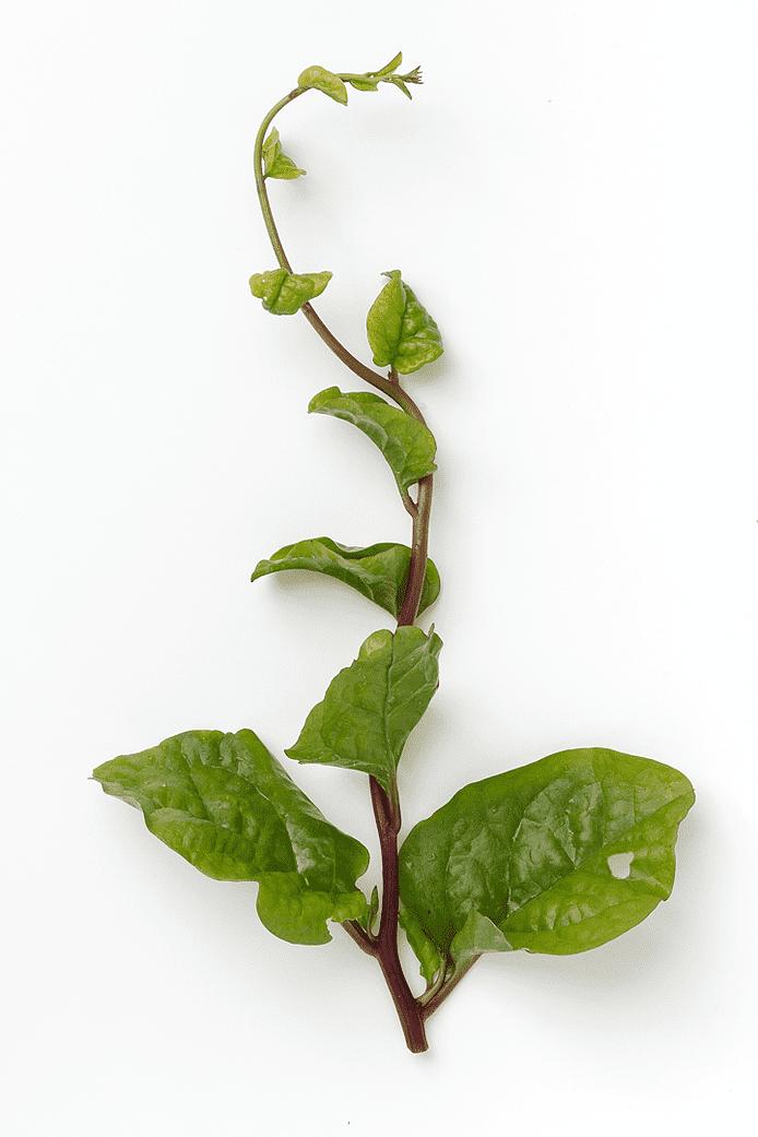 Malabarspinat