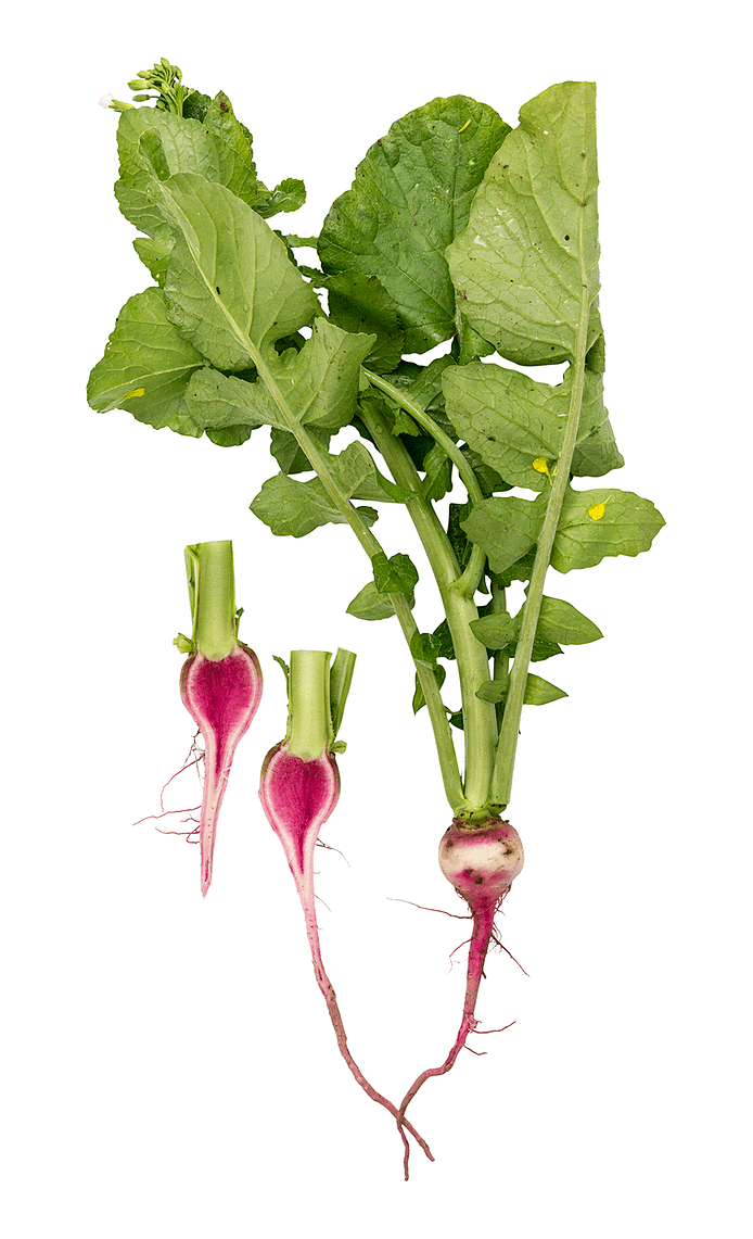 Radise (Watermelon)