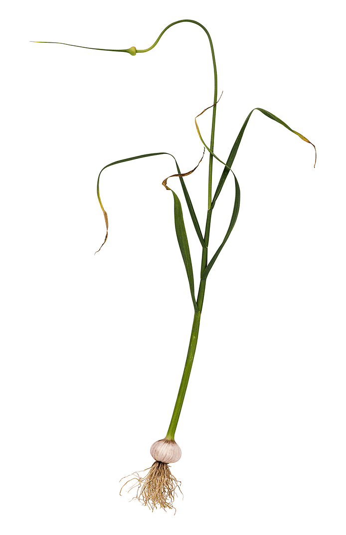 Slangehvidløg