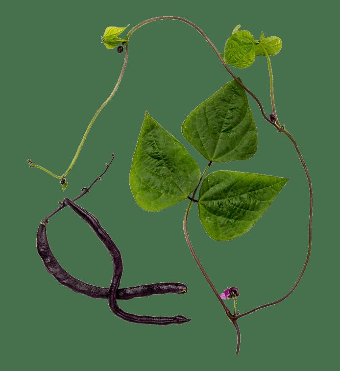 Stangbønne (Blauhilde)