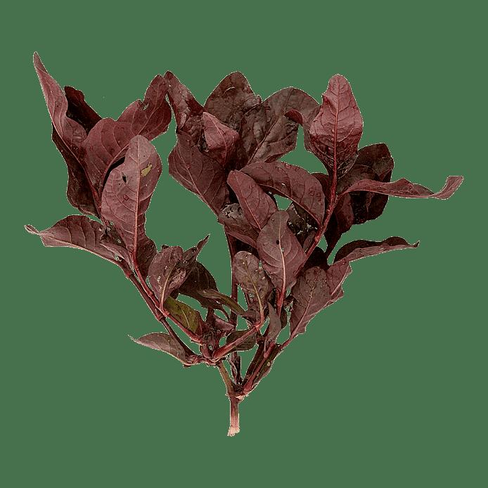 Röd korianderpilört