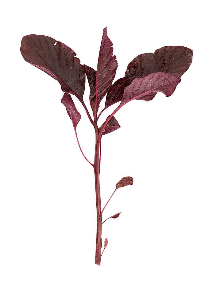 Blad-amarant (Callallo)