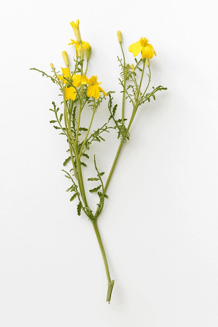 Kryddtagetes (citrontagetes)