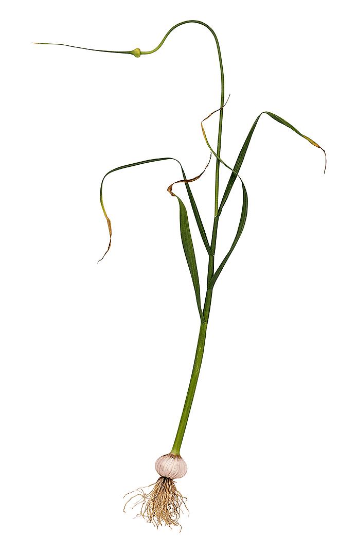 Ormlök (Allium ophioscorodon)
