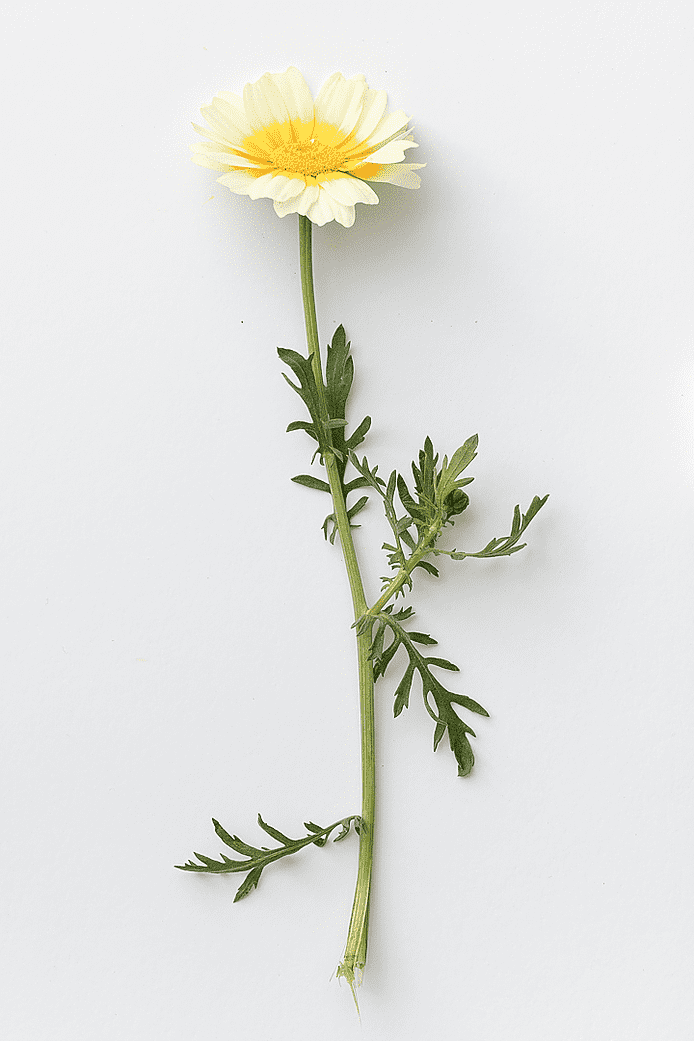 Shungiku (Chrysanthemum coronarium)