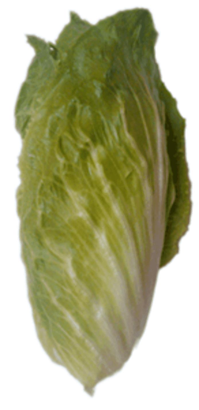 Sugarloaf-cikoria