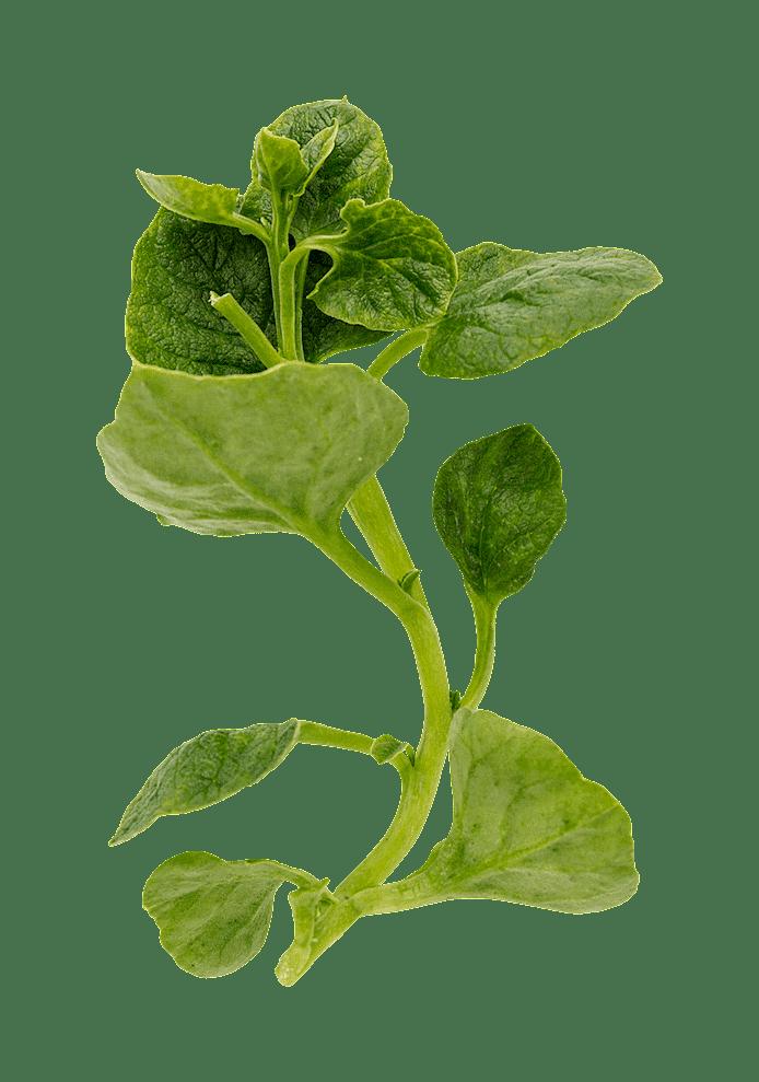Ulluku (Ullucus tuberosus)