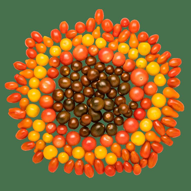 Farverige Små Tomater