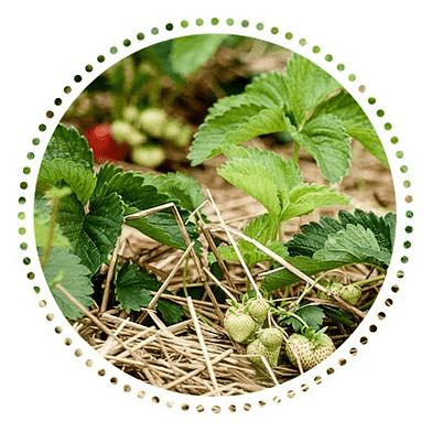JordbærplanteKassen