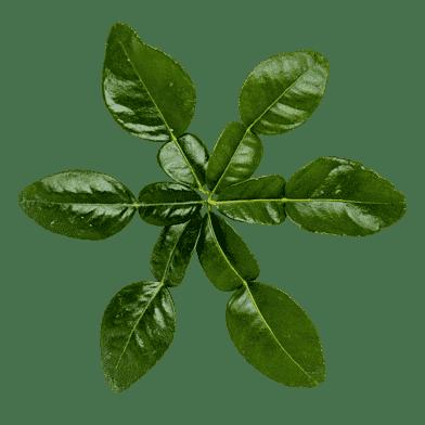 Friske kaffir-limeblade