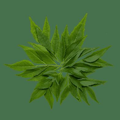 Friske karryblade på gren